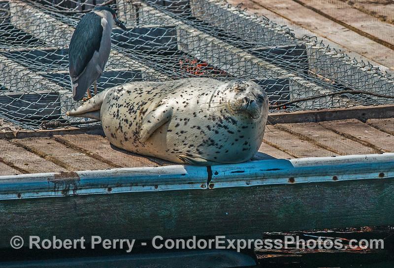 Relaxin' in the sun - bait barge Santa Barbara - harbor seal.