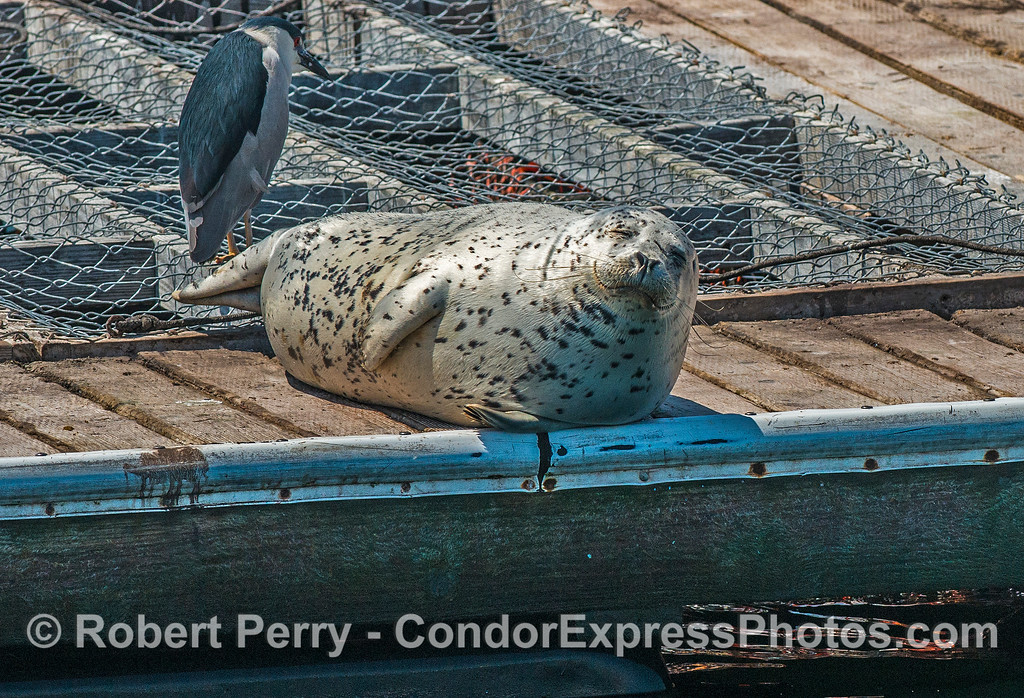 Relaxin' in the sun - bait barge Santa Barbara - harbor seal.