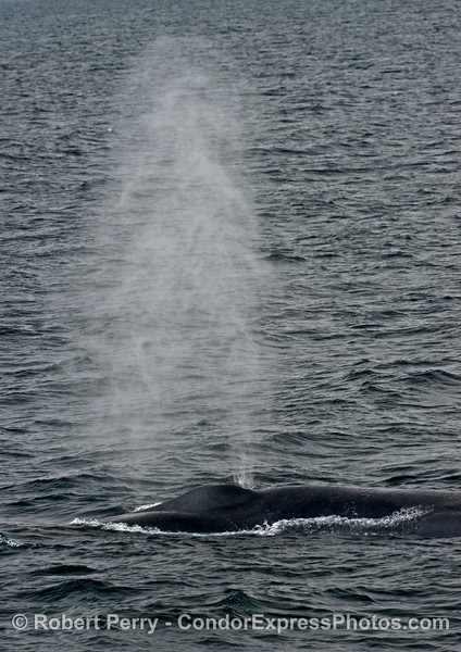 Vertical format to show the tallness of the spout - blue whale.