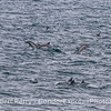 Common dolphins on the feeding grounds - with sooty shearwaters.