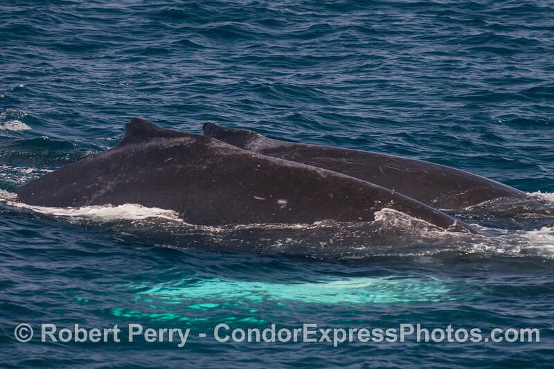 A close pair of humpack whales.