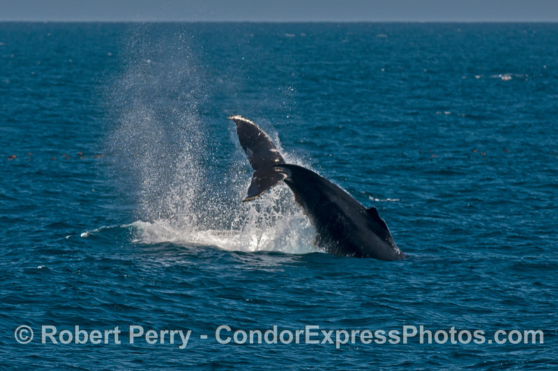 A highly active humpack whale threw its tail before, during and after we arrived on the scene