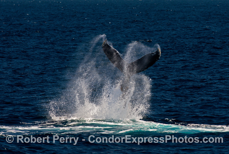 Humpback whale tail throw sequence.