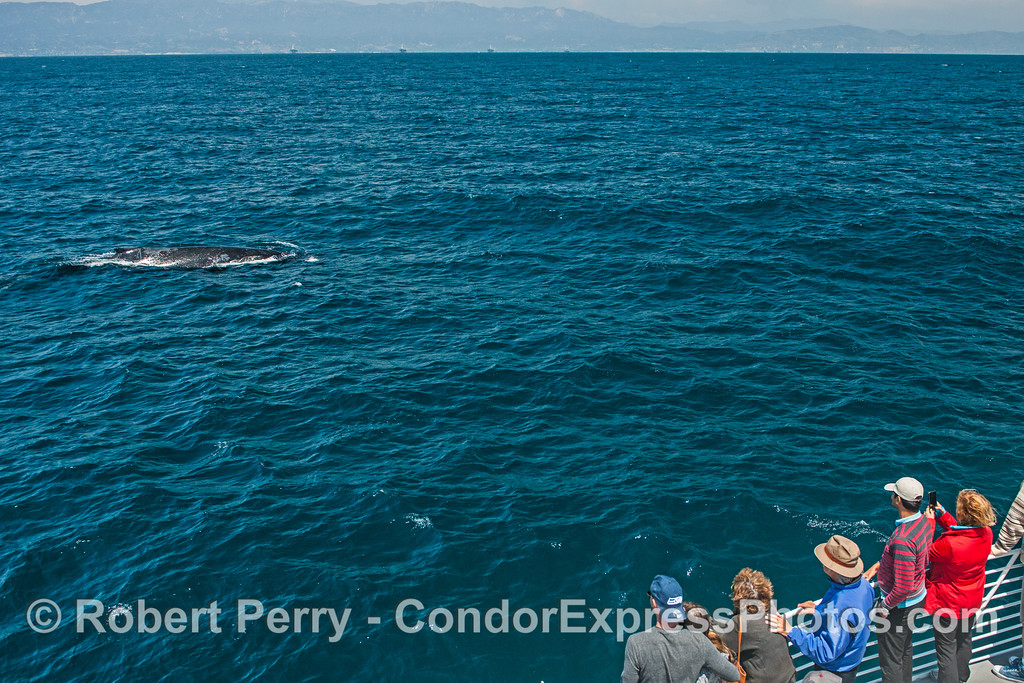 A friendly humpback whale gives its fans on the Condor Express some great looks.