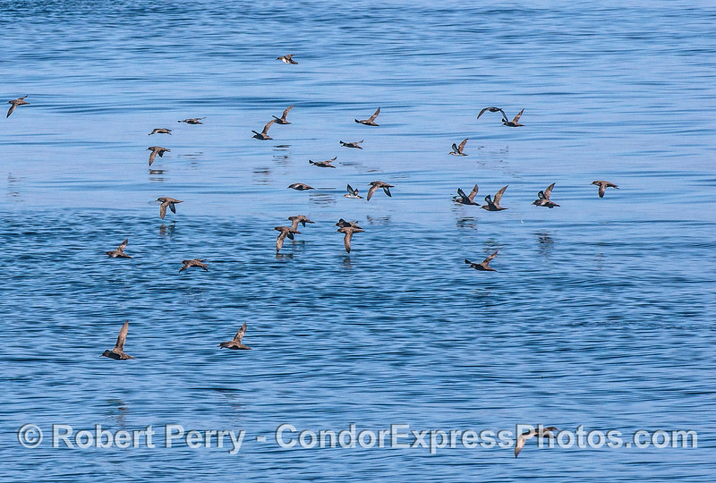 Sooty shearwaters - part of a much larger aggregation.