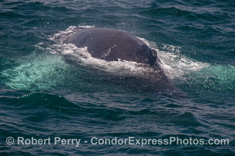 """Humpback whale with white pects enjoying the """"rain"""" from its own spout spray."""