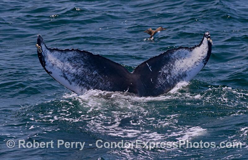 Humpback whale signature tail fluke patterns.