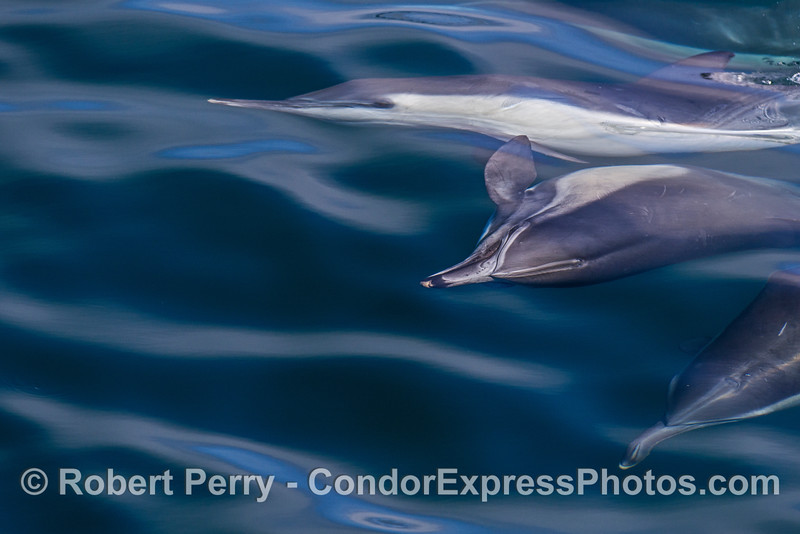 A series of courtship and mating photographs - long-beaked common dolphins.