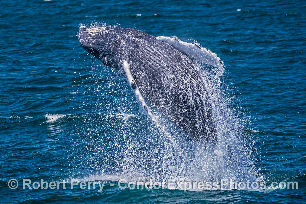 Very little in nature can match the power and drama of a breaching humpback whale on a bright sunny day.