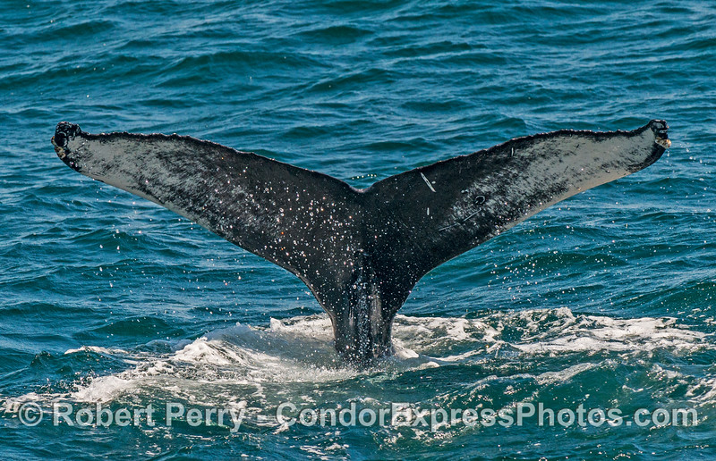 Tail flukes - humpback