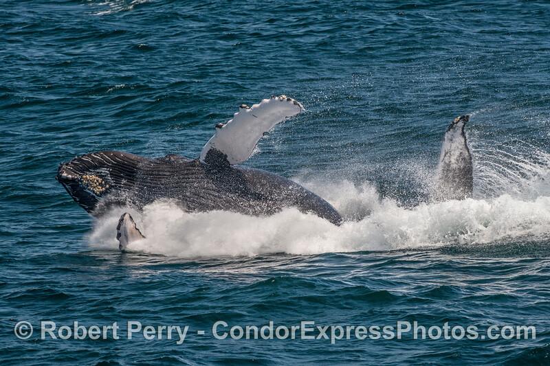 A breaching humpback whale