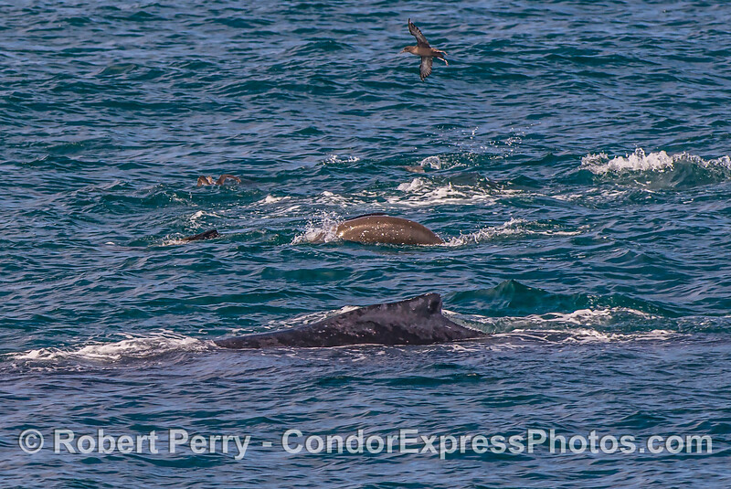 Hot spot:  humpback whale, California sea lion, sooty shearwaters