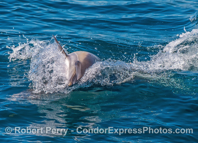 One of several images of a male common dolphin acting aggressively