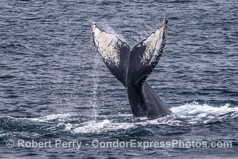 Humpback tail throw