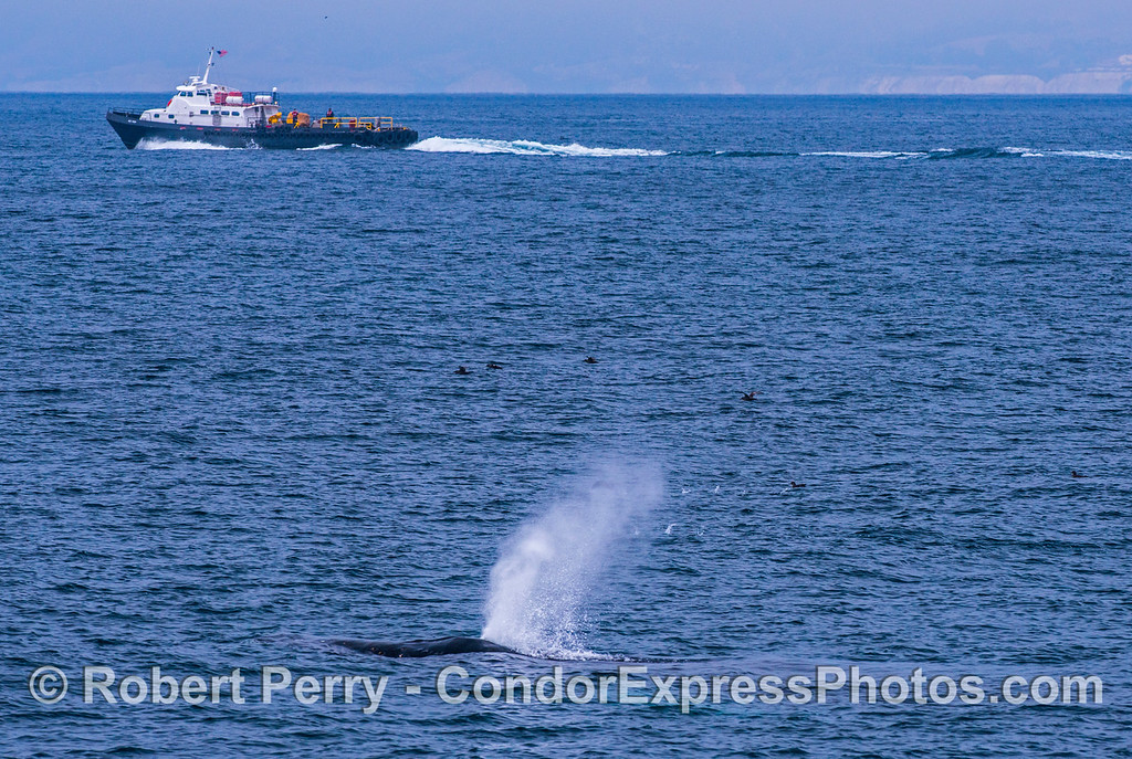 "Oil rig supply boat ""Aces High"" and a humpback whale"