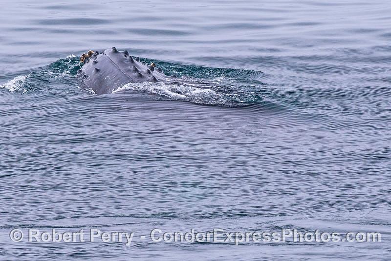 Head up, sideways - humpback