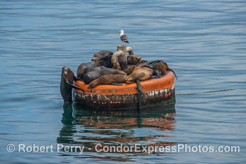Sea lions on a mooring can - Santa Barbara