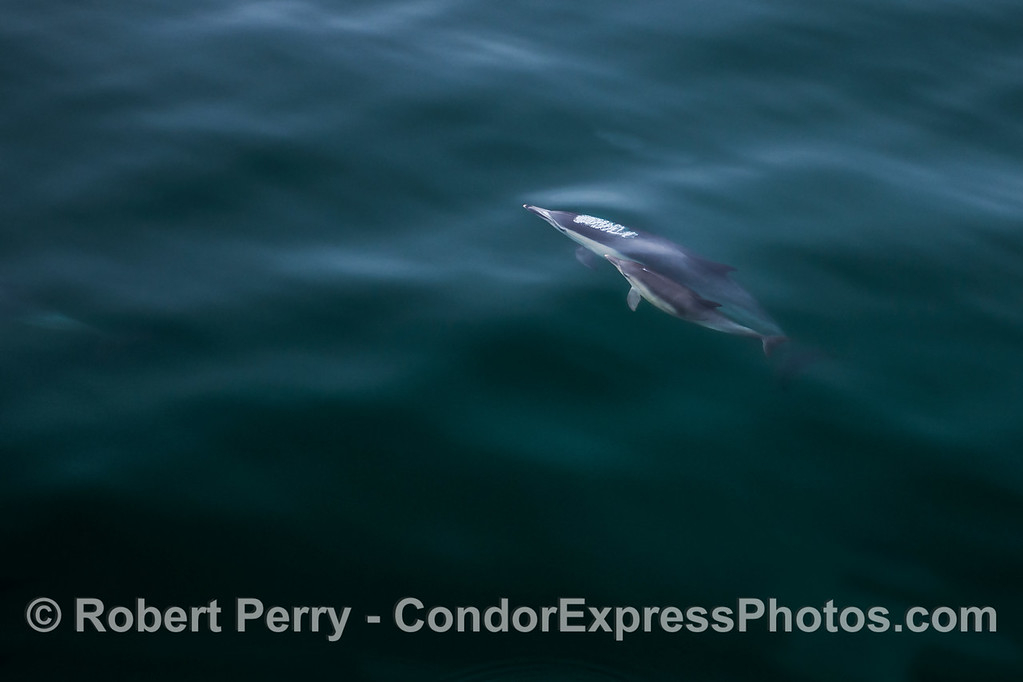 Mother common dolphin and her calf.