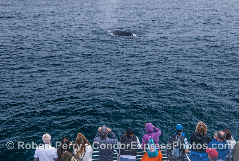 Friendly humpback whale and its fan club