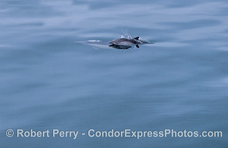 Common dolphin calf (above surface) and its (submerged) mother.