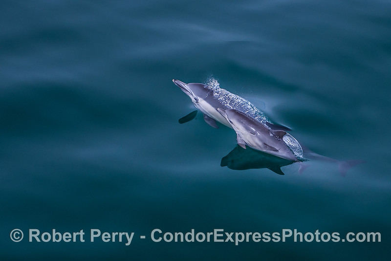 Common dolphin mother and her calf