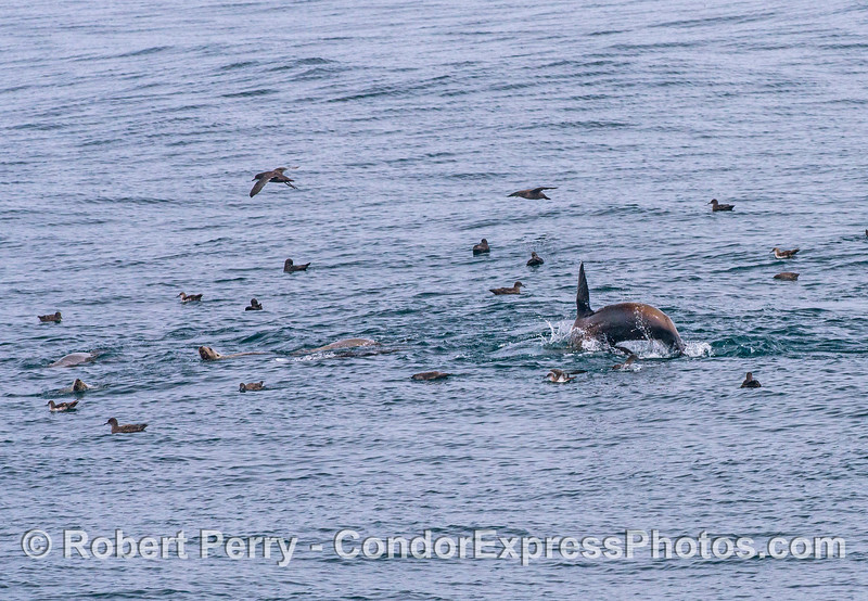 California sea lions and sooty shearwaters - part of an oceanic hot spot.