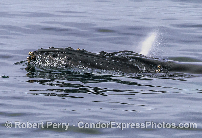 Humpback spout - glassy surface