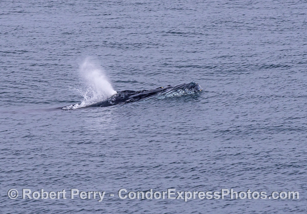 Humpback rides up a swell and spouts