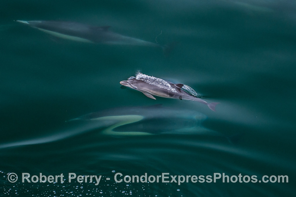 Nearly newborn common dolphin calf with faint fetal fold lines