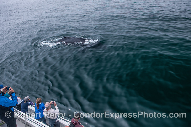 A very friendly humpback whale.
