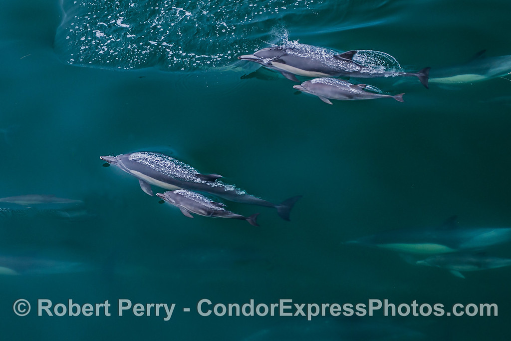 Mothers and calves - long-beaked common dolphins.