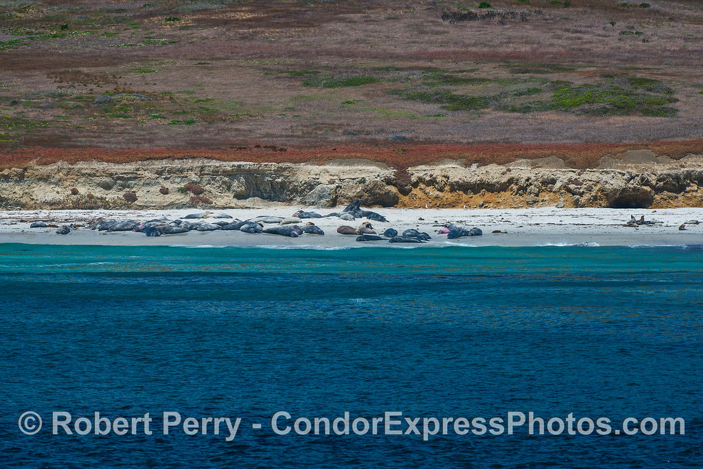 San Miguel Island - southeast - Northern elephant seal rookery