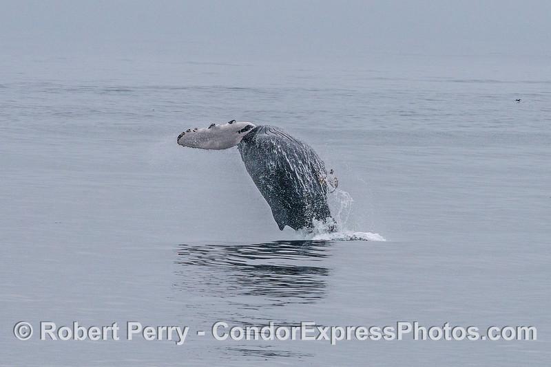 "Humpback whale (""Black Rakes"") breaching"
