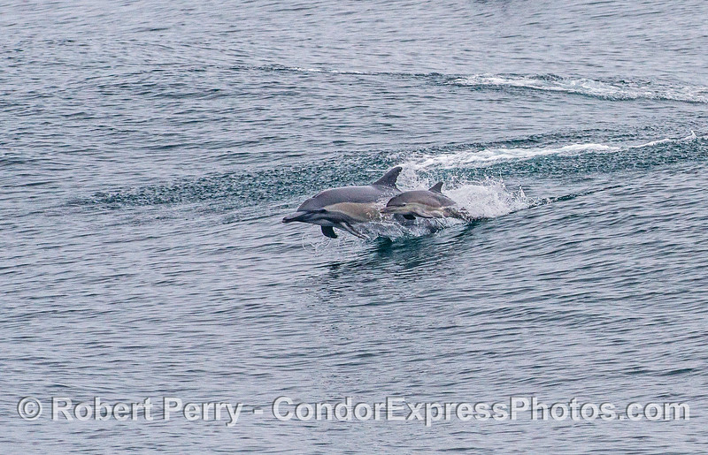 Long-beaked common dolphins - mother and calf
