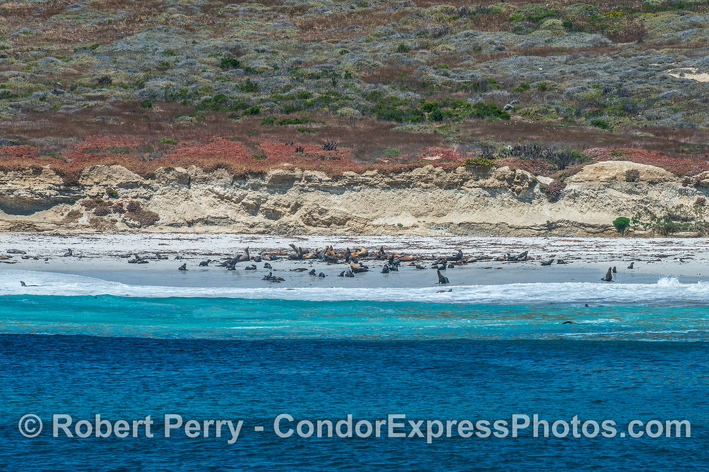San Miguel Island - southeast - California sea lion rookery