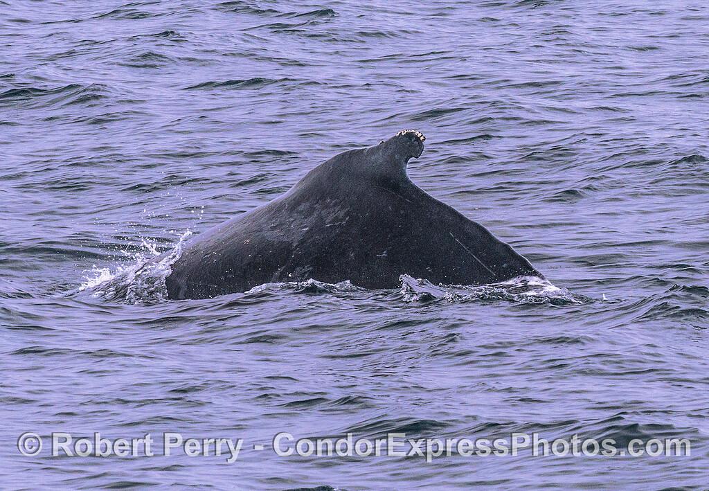 Humpback whale - distinctive dorsal fin