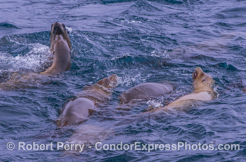 A very social pack of California sea lions