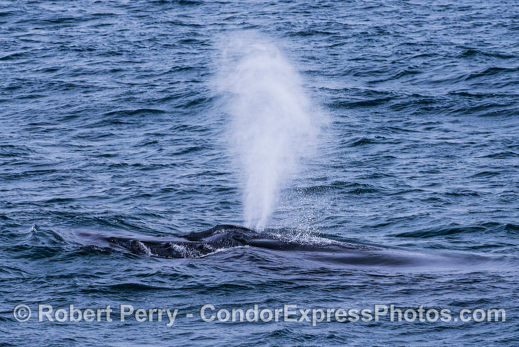 Humpback whale - water spills around the tubercles on its rostrum