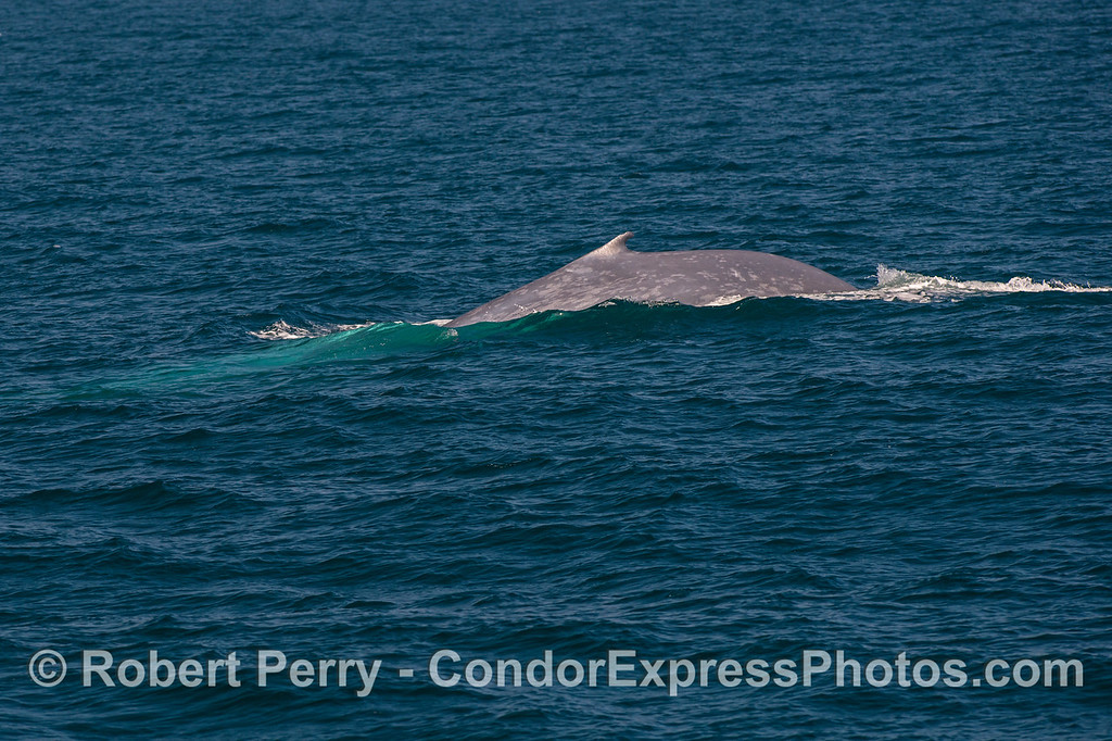 A racing giant blue whale -  speeding across the ocean surface.
