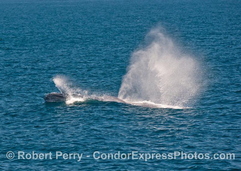A racing giant blue whale -  speeding across the ocean surface.