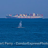 """Giant blue whale and contaner cargo vessel """"Cosco America."""""""
