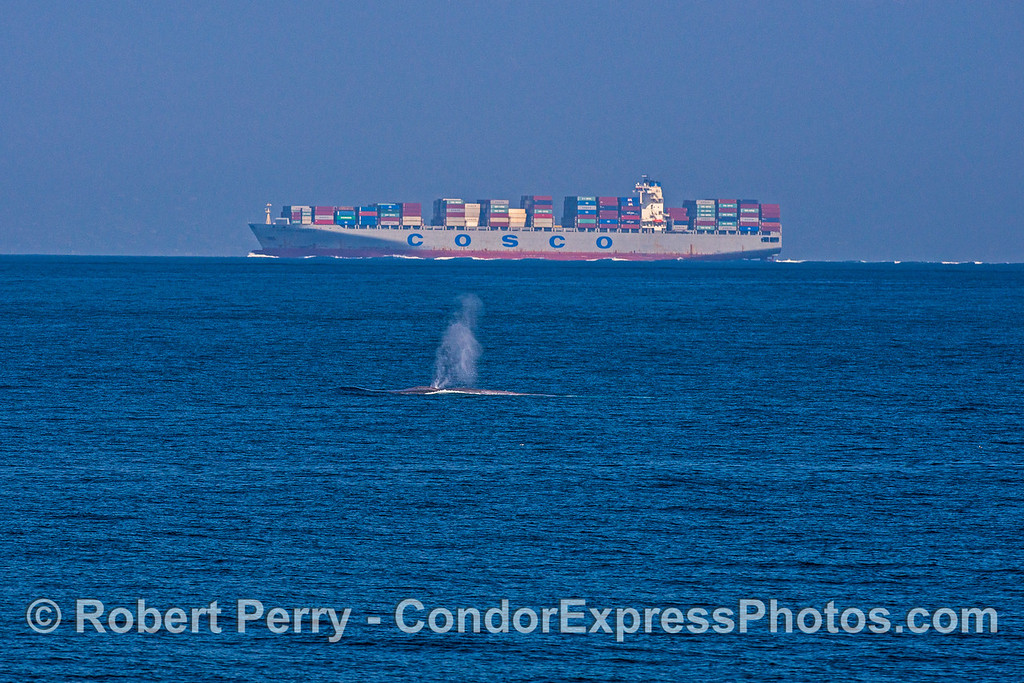 "Giant blue whale and contaner cargo vessel ""Cosco America."""