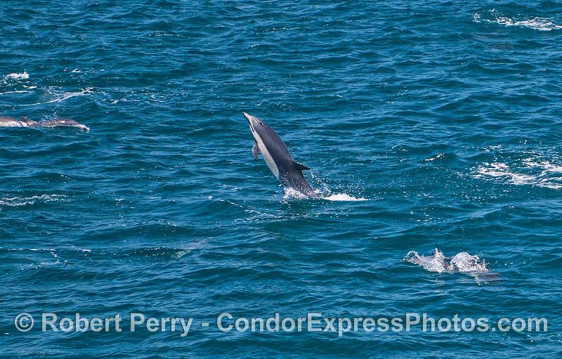 Crazy antics - a short-beaked common dolphin.