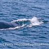 """Surfin' USA - two dolpins ride the """"bow"""" wave of a humpback whale."""
