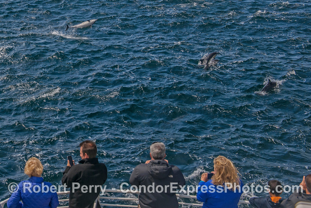 A leaping long-beaked common dolphin with its fan club.