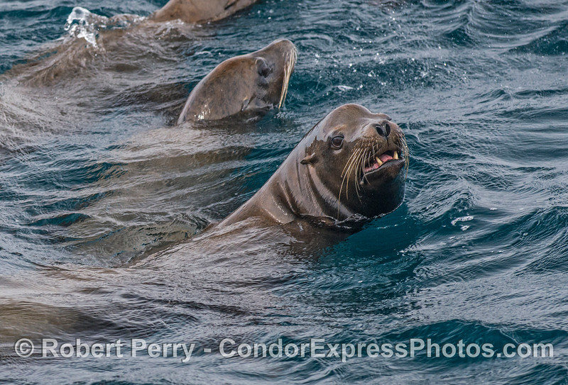 A male California sea lion.