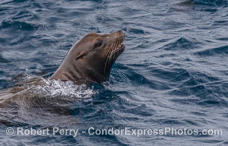 Profiles in fur - a male California sea lion.