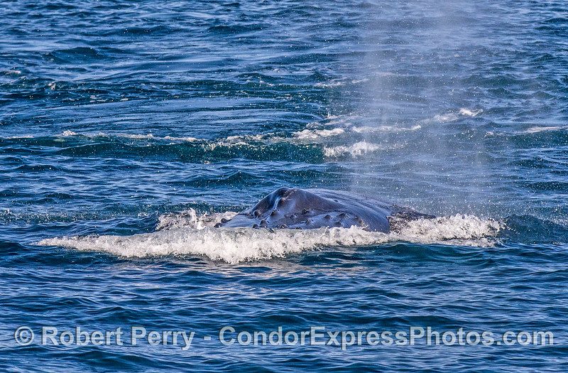 Image 2 of 2:  a humpback whale comes directly at the camera.