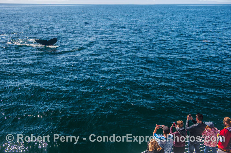 Humpback tail flukes and whale fans