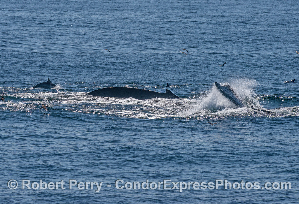 Two humpback whales with long-beaked common dolphins
